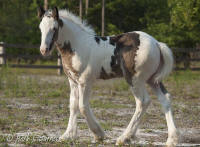 Morning Glory, 2012 Gypsy Vanner Horse filly