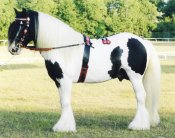 Cushti Bok, first Gypsy Vanner stallion imported to the US