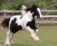 Wine & Roses, 2015 Gypsy Vanner Horse filly