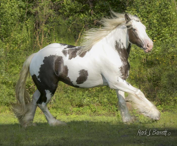 The King's Morning Glory, 2012 Gypsy Vanner Horse mare