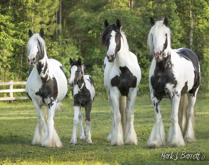 Rose Petal and daughters, Gypsy Vanner Horse mares